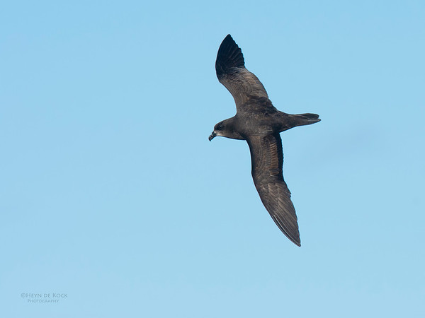 Grey-faced Petrel, Eaglehawk Neck Pelagic, TAS, May 2016-1