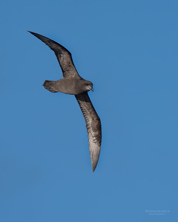 Grey-faced  Petrel, Eaglehawk Neck Pelagic, TAS, July 2015