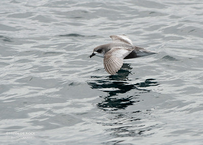 Mottled Petrel, Stewart Island Pelagic, SI, NZ, Jan 2013
