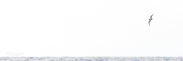 Mottled Petrel, Southport Pelagic, November 2016