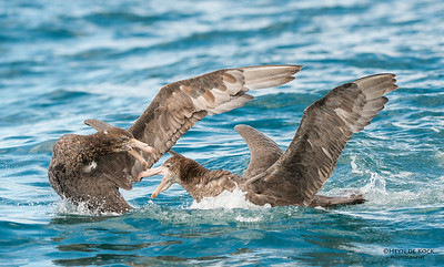 Northern Giant-Petrel, Kaikoura, SI, NZ, Jan 2013