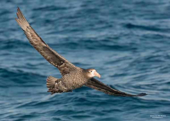 Northern Giant-petrel, Wollongong, NSW, Aus, Oct 2013-3