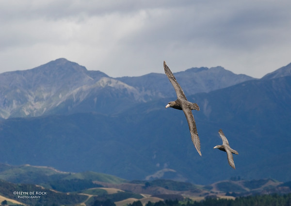 Northern Giant-Petrels, Kaikoura, SI, NZ, Jan 2013