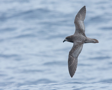 Providence Petrel, Southport Pelagic, Jun 2016-6