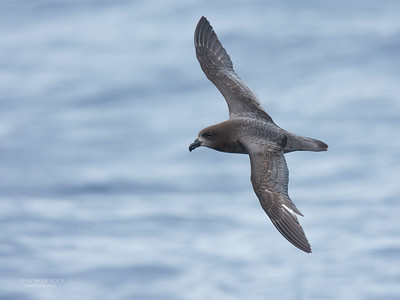 Providence Petrel, Southport Pelagic, Jun 2016-1