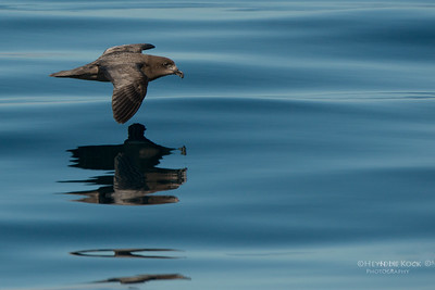 Providence Petrel, Wollongong Pelagic, NSW, Aus, Aug 2014
