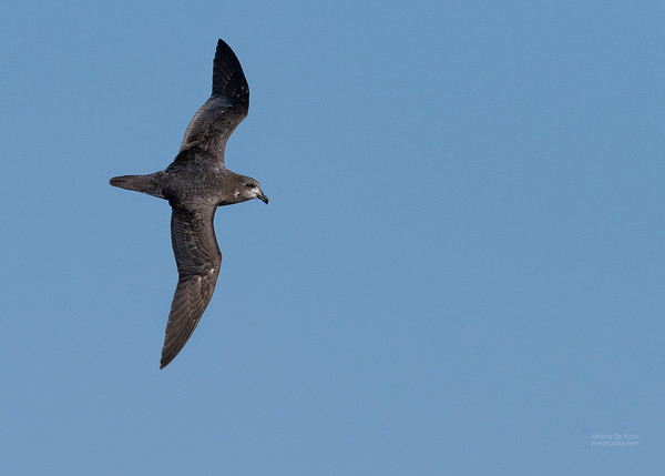 Providence Petrel, SE QLD Seamounts, Oct 2020-2