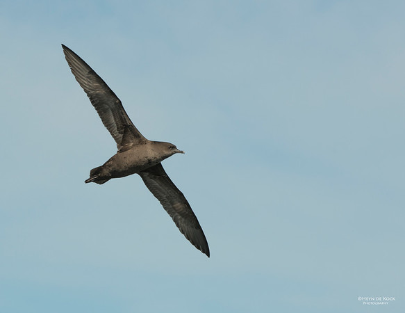 Short-tailed Shearwater, Wollongong Pelagic, Sep 2013-1