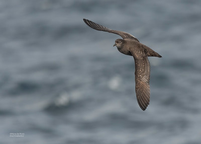 Short-tailed Shearwater, Eaglehawk Neck Pelagic, TAS, Dec 2019-2