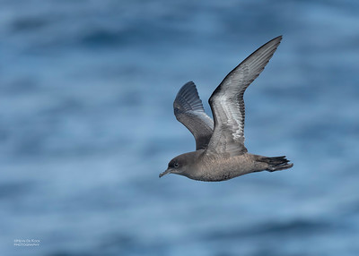 Short-tailed Shearwater, Eaglehawk Neck Pelagic, TAS, Dec 2019-1