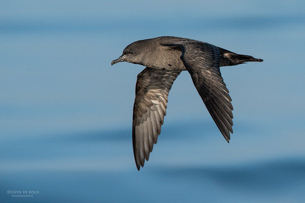 Short-tailed Shearwater, Wollongong Pelagic, NSW, Aus, Oct 2014