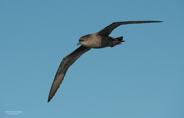 Short-tailed Shearwater, Wollongong Pelagic, Oct