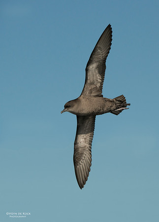 Short-tailed Shearwater, Wollongong Pelagic, Oct 2012-1