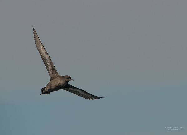 Short-tailed Shearwater, Wollongong Pelagic, Sep 2013 copy