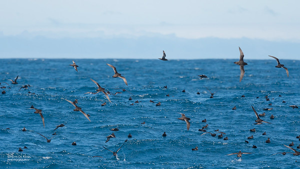 Short-tailed Shearwater, Eaglehawk Neck Pelagic, TAS, Dec 2019-3