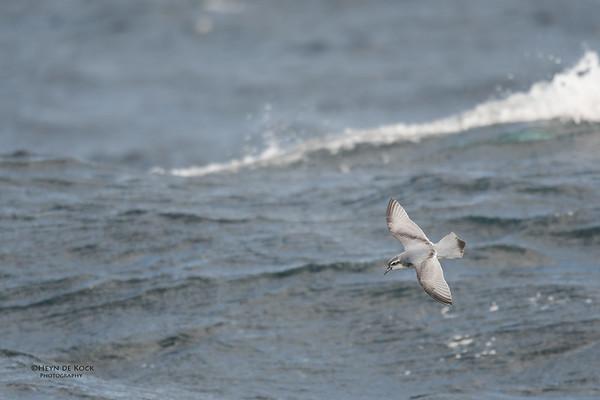 Slender-billed Prion, Eaglehawk Neck Pelagic, TAS, Sept 2016-6