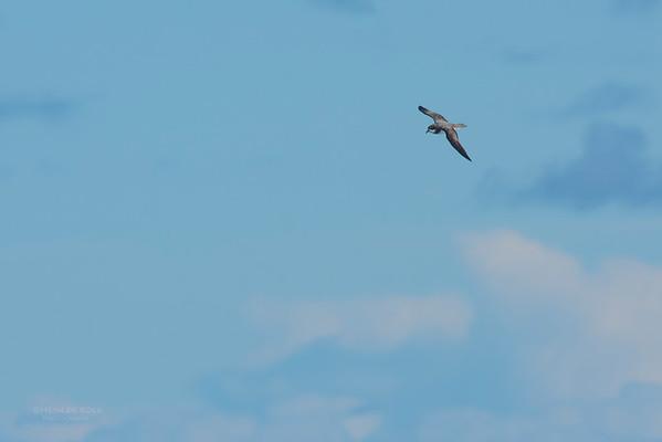 Soft Plumaged Petrel, Eaglehawk Neck Pelagic, TAS, May 2016-1