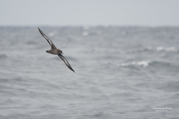 Sooty Shearwater, Eaglehawk Neck Pelagic, TAS, Sept 2016-3