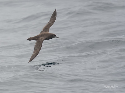 Sooty Shearwater, Eaglehawk Neck Pelagic, TAS, Sept 2016-2