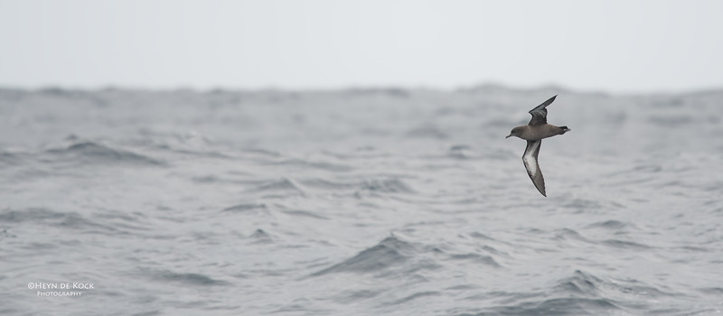 Sooty Shearwater, Eaglehawk Neck Pelagic, TAS, Sept 2016-4