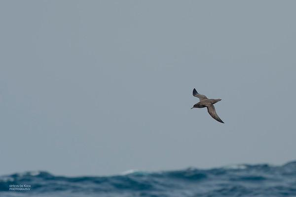 Sooty Shearwater, Eaglehawk Neck Pelagic, TAS, Dec 2019-1