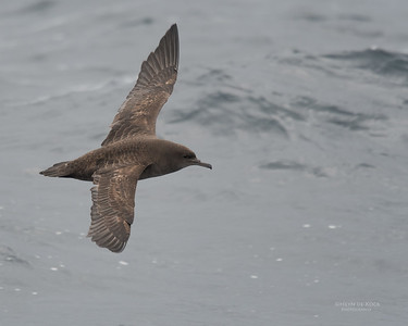 Sooty Shearwater, Eaglehawk Neck Pelagic, TAS, Sept 2016-5