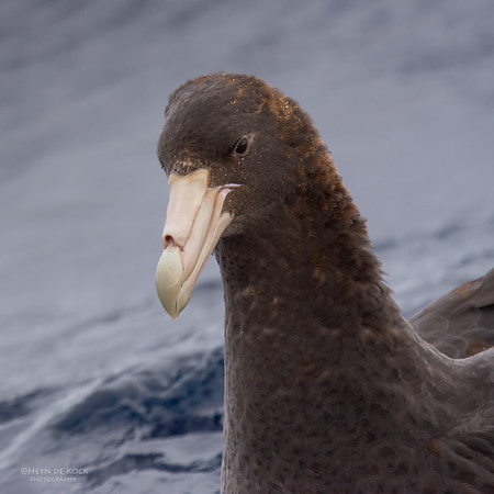 Southern Giant-Petrel, Eaglehawk Neck Pelagic, TAS, July 2015-1