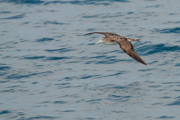 Streaked Shearwater, Port Stephens Pelagic, NSW, Mar 2010