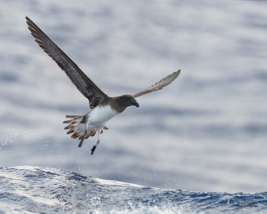 Tahiti Petrel, SEQ Seamounts, Oct 2020-4