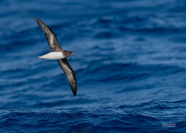 Tahiti Petrel, SEQ Seamounts, Oct 2020-2