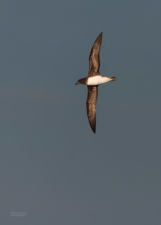 Tahiti Petrel, SE QLD Seamounts, Oct 2020-2