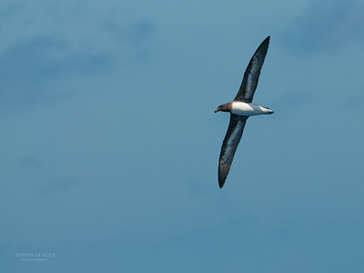 Tahiti Petrel, Southport Pelagic, QLD, Nov 2011