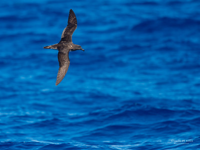 Tahiti Petrel, Southport Pelagic, QLD, March 2016-1