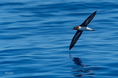 Tahiti Petrel, Southport Pelagic, Qld, Aus, Oct 2018-2