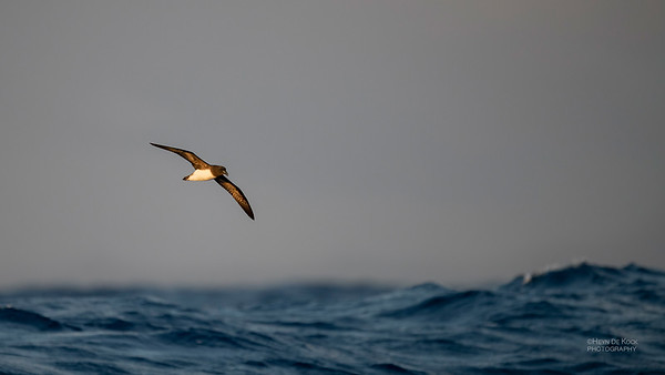 Tahiti Petrel, SEQ Seamounts, Oct 2020-1