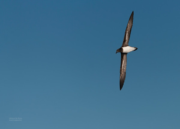 Tahiti Petrel, SE QLD Seamounts, Oct 2020-1