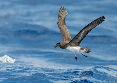 Tahiti Petrel, SEQ Seamounts, Oct 2020-3