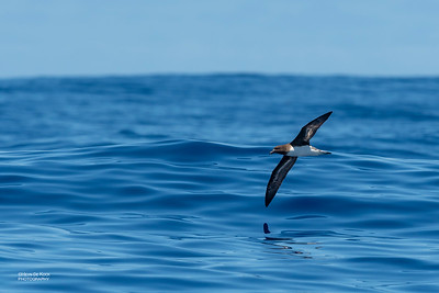 Tahiti Petrel, Southport Pelagic, Qld, Aus, Oct 2018-3