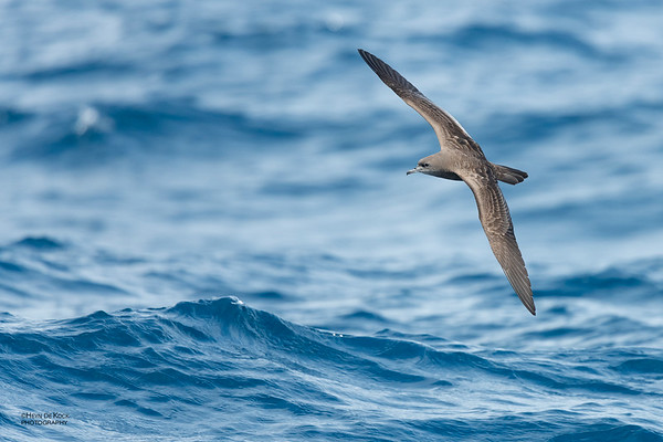 Wedge-tailed Shearwater, Southport Pelagic, QLD, Sept 2020-1