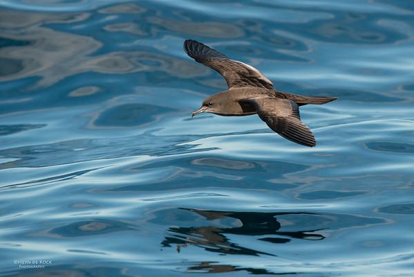 Wedge-tailed Shearwater, Wollongong Pelagic, NSW, Aus, Aug 2014