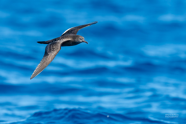Wedge-tailed Shearwater, SE QLD Seamounts, Oct 2020-1