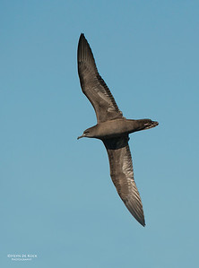 Wedge-tailed Shearwater, Wollongong, NSW, Sep 2013-1
