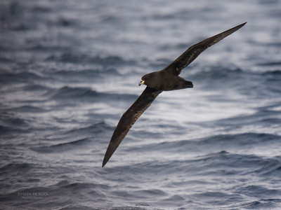 Westland Petrel, Eaglehawk Neck Pelagic, TAS, May 2016-1