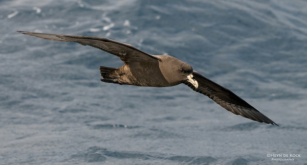 White-chinned Petrel, Eaglehawk Neck Pelagic, TAS, Aus, Feb 2011