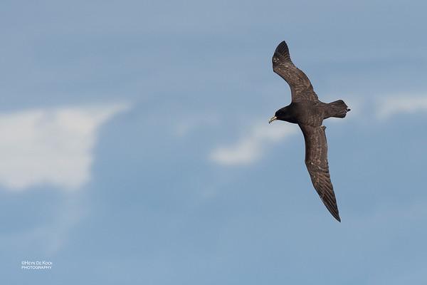 White-chinned Petrel, Eaglehawk Neck Pelagic, TAS, Dec 2019-1