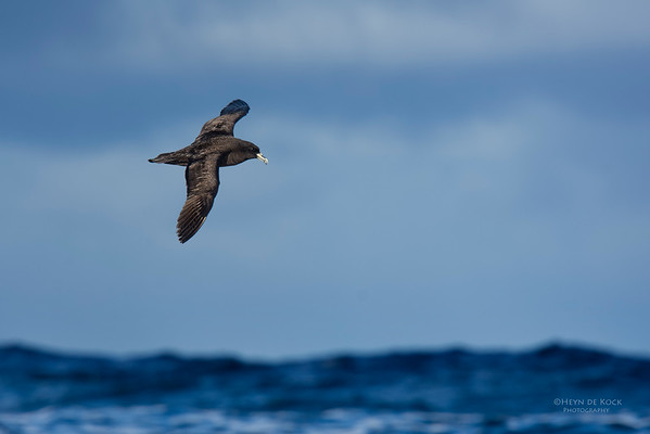 White-chinned Petrel, Eaglehawk Neck Pelagic, TAS, May 2016-1