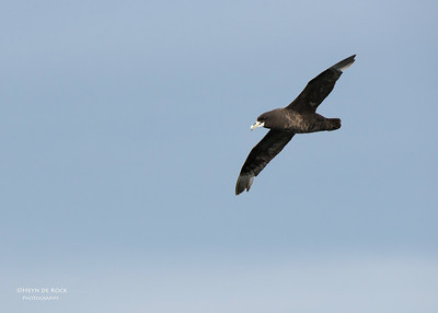 White-chinned Petrel, Cape Town Pelagic, WC, SA, Jan 2014-4