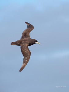 White-chinned Petrel, Cape Town Pelagic, WC, SA, Jan 2014-1