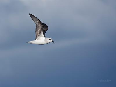 White-headed Petrel, Eaglehawk Neck Pelagic, TAS, May 2016-1