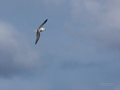 White-headed Petrel, Eaglehawk Neck Pelagic, TAS, May 2016-3